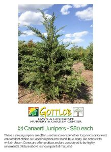 Gottlob Lawn & Landscaping Tree Package #3 - 2 Canaerti Junipers
