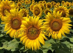 Sunflower Canvas Photo, signed by Jan Hathaway